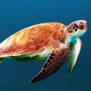 Turtle - rùa