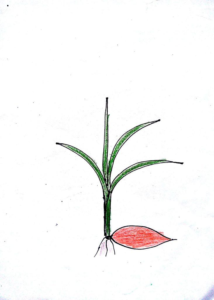 betuduy - Cây mạ