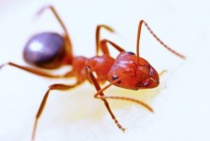 ant-macro-insect-red-40825