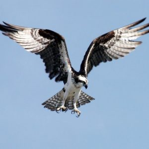 osprey-adler-bird-of-prey-raptor-73825