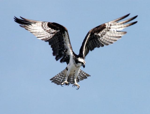 osprey-adler-bird-of-prey-raptor-73825