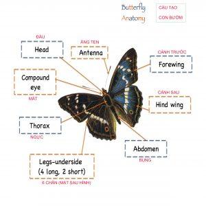 ButterflyAnatomy