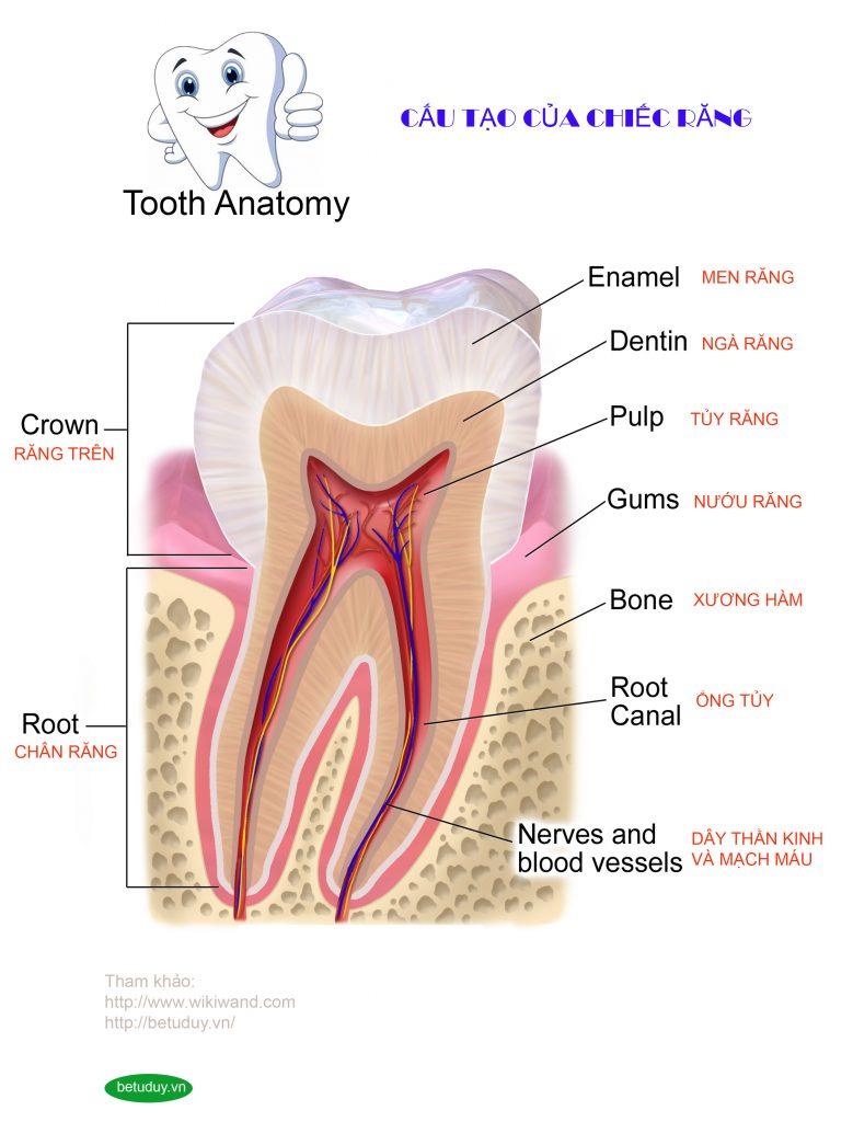 ToothAnatomy - Bé tư duy