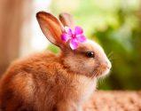 thỏ hồng choành chọe