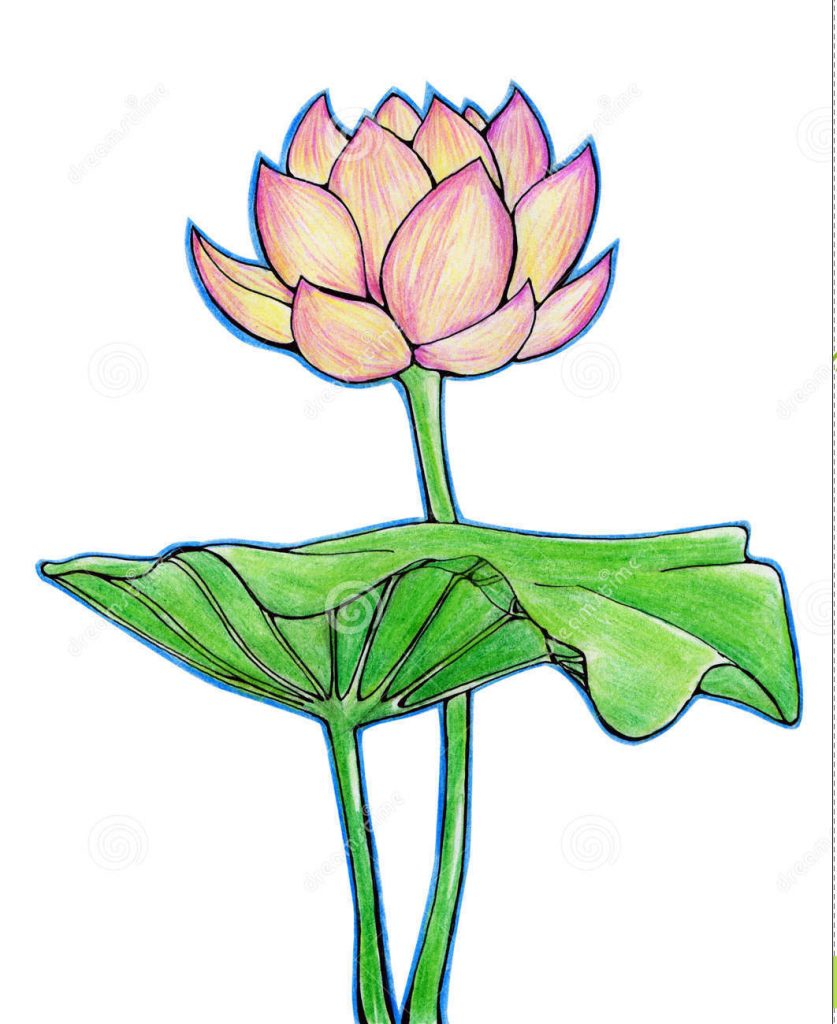 Lotus With Leaf Drawing Pictures Lotus Flower And Leaf Stock Pho