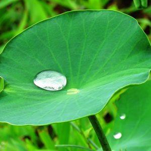 lotus-leaf-2420205_960_720